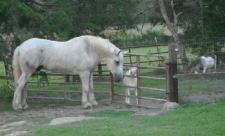 Big Mack meets the goats